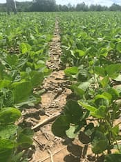 Soybean field at V7 growth stage