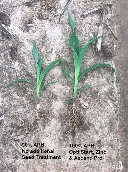 Corn seedling showing roots and noting which treatment had larger root mass